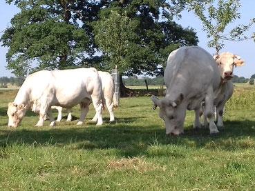 Vaches, prairie, bien être animal , nicolas Pinel , ferme du tuilet