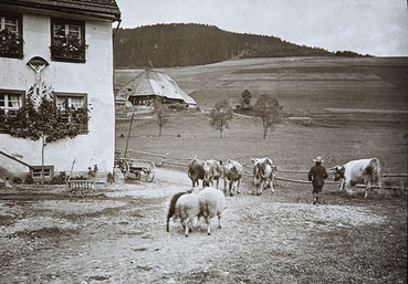 Hirtenbube mit Kühen und Schafen bei zwei Schwarzwaldhöfen
