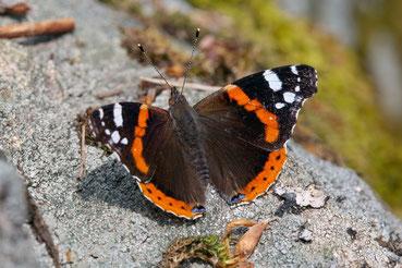 Schmetterling im Schwarzwald- Der Admiral