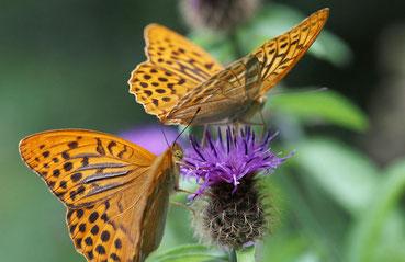 Schmetterlinge im Schwarzwald, der Kaisermantel