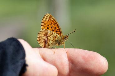 Der zutrauliche Schmetterling auf der Hand