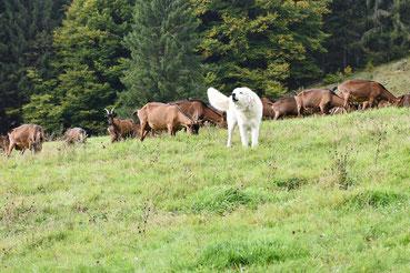 Hütehund mit Ziegen
