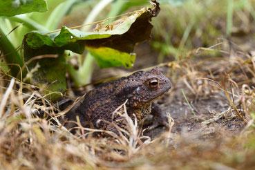 Erdkröte im Sommer