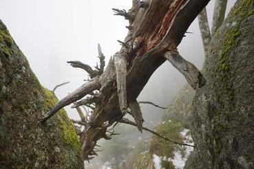 morscher Baumstamm