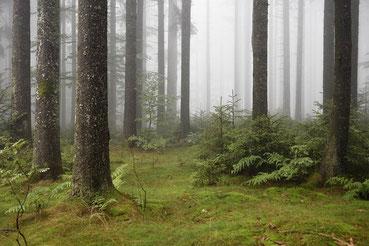Schwarzwald mit Fichten