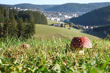 Fliegenpilz mit Furtwangen (Schwarzwald) im Hintergrund