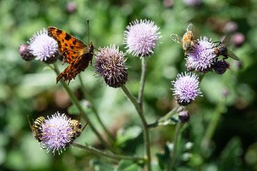 Bioligische Vielfalt auf der Blume: C-Falter, Biene, Fliege und Wespen