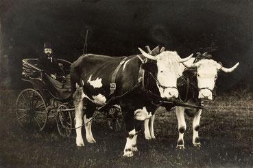 Ochsengespann im Schwarzwald um 1920