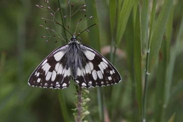 Schmetterlinge im Schwarzwald - Das Schachbrett