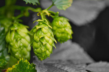 Cônes de houblons. Arômes de la bière artisanale.