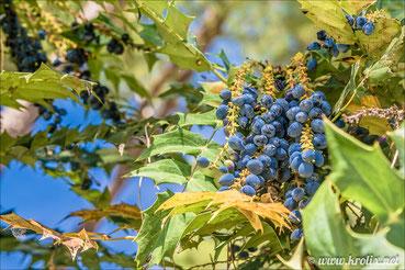 Тосканский виноград