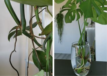 Luchtwortels (links) en vooruitgang na twee maanden op water (rechts)