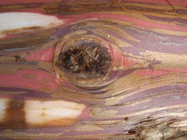 ごわごわの皮の下にはきれいな模様が隠れていました。