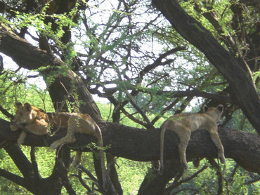 Lions in the tree in Serengeti