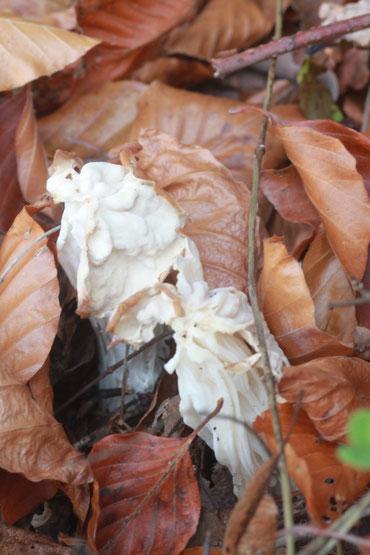 Herbst-Lorcheln am Wegrand