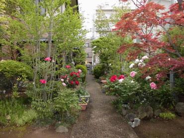牡丹咲き始めた庭