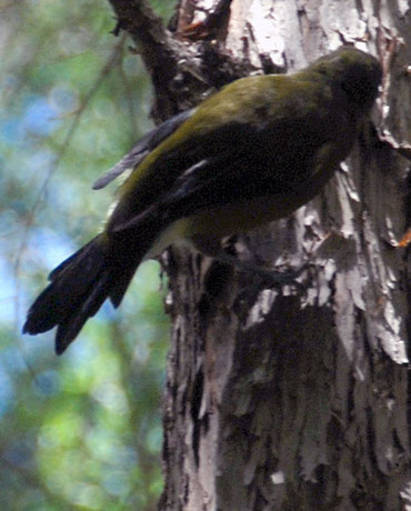 Rear view of Korimako/Bellbird (Anthornis melanura) on Halls Totara  the Wainui Falls Walk, Golden Bay.