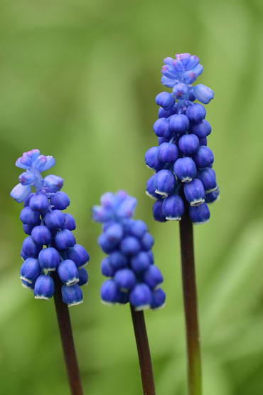 667. Blauwe druifjes (1843)