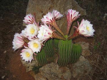 Kakteen-Blüte in der Nacht vom 03.06.15 auf 04.06.15