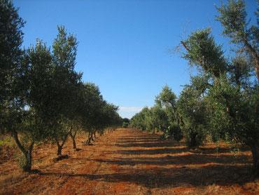 . . .  der eigene Olivenhain
