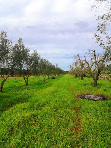 Olivenhain mit über 80 frisch geschnittenen Olivenbäumen im März 2018