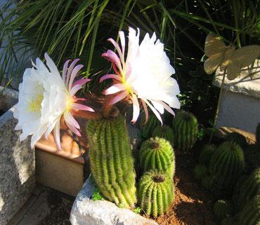 Pünktlich zum Muttertag ist der Kaktus in voller Blüte !