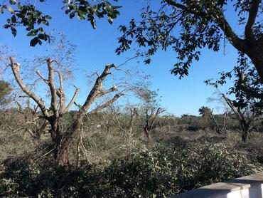 Olivenbäume werden im Februar 2017 geschnitten