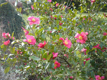 """Camellia sasanqua """"Crimson King"""""""