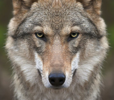 Wolf. Quelle: Fotolia