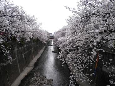 久保田橋より下流を望む  4月1日  大塚和比古