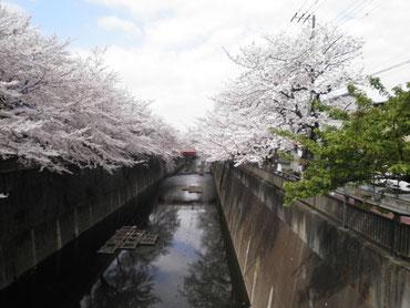 中根橋より上流を望む(右の葉桜は上記掲載の河津桜)