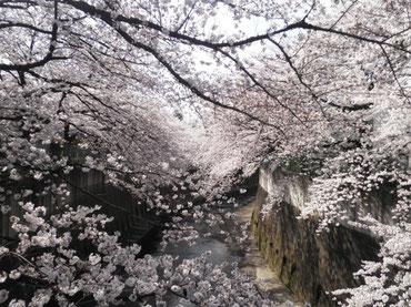 金沢橋より下流を望む  4月1日  大塚和比古