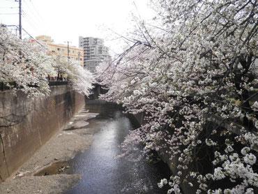 加賀学園橋より下流を望む  4月1日  大塚和比古