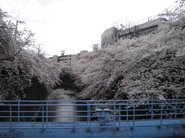 中根橋より下流を望む  4月1日  大塚和比古