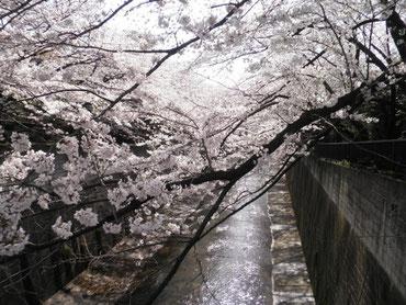 加賀橋から下流を望む  4月1日  大塚和比古