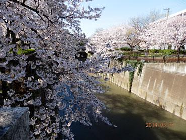 北区滝野川橋より上流を望む  3月31日  馬耳南風