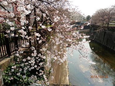 北区滝野川橋より上流を望む  3月28日  馬耳南風