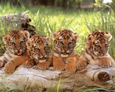 """Crème brûlée à la """"Frostie attitude"""" pour les petits tigres"""