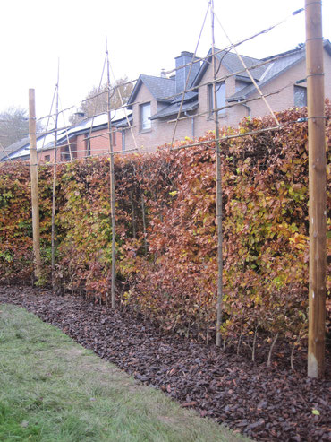 plantation arbres palissés