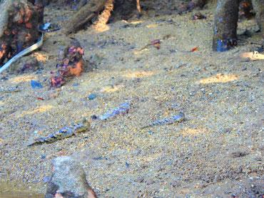 マングローブの生き物たち