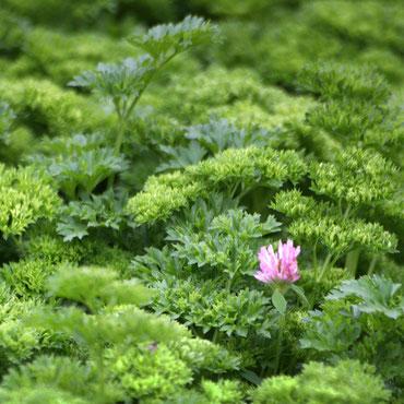 Bild einer lilla Pflanze in einem Petersiliefeld