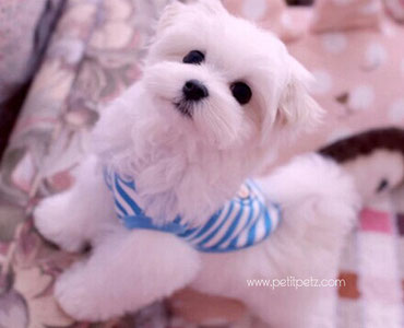 moda canina especializada en perros pequeños fashion canina europa armario mascotas holy angels eyes