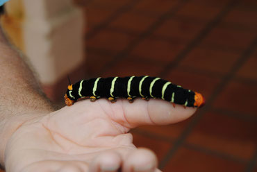 eine megagroße Raupe, soll mal ein Schmetterling werden. Ich hab sie sogar gestreichelt - samtig weich.