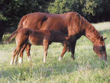 Toledo Quarter-Horse