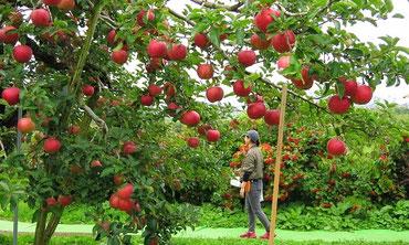 真っ赤に色づくおいしいりんご