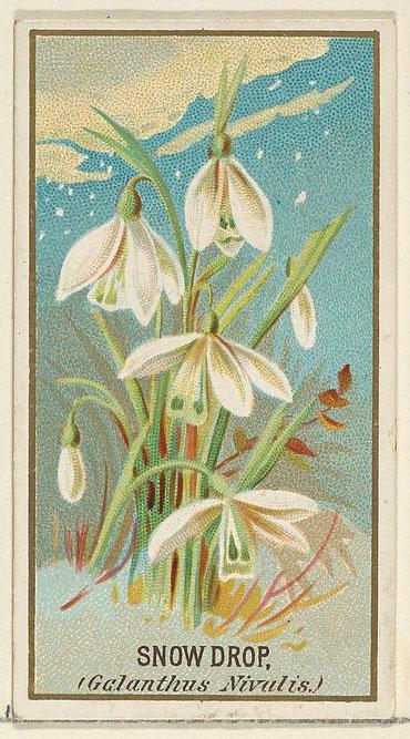 Bucaneve (Galantus nivalis) dalla serie Flowers per Old Judge Gigarettes, cromolitografia, 1890.  Metroplitan Museum of Art, New York