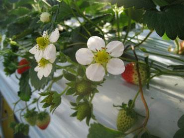 栽培形態 高設栽培  品種 紅ほっぺ