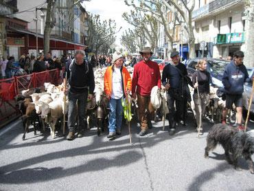 Endspurt der Schafswanderung, Alpes de Hautes Provence