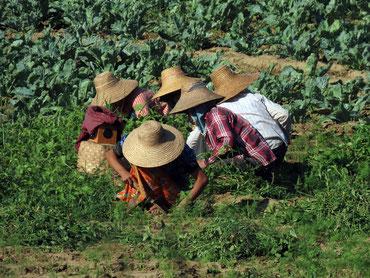 Feldarbeit bei Monywa