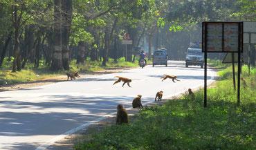 Affen sind ebenfalls heilig, darum füttern die Gläubigen sie aus den Autos heraus.